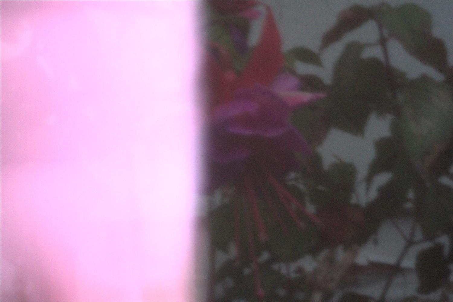Fuchsia with light leak